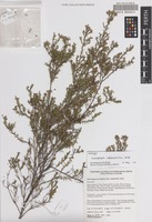 Holotype of Leucopogon subsejunctus Hislop [family ERICACEAE]