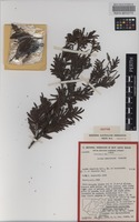 Isotype of Acacia constablei Tindale [family FABACEAE]