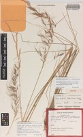 Isotype of Stipa dongicola Vickery, S.W.L.Jacobs & J.Everett [family POACEAE]