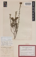 Holotype of Pultenaea barbata C.R.P.Andrews [family FABACEAE]