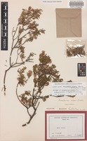 Holotype of Eriostemon nutans Paul G.Wilson [family RUTACEAE]