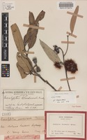 Isotype of Eucalyptus woodwardii Maiden [family MYRTACEAE]