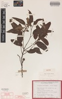 Isotype of Eucalyptus brevistylis Brooker [family MYRTACEAE]