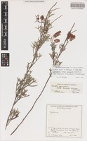 Holotype of Grevillea synapheae R.Br. subsp. minyulo Makinson [family PROTEACEAE]
