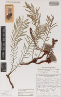 Isotype of Banksia lepidorhiza (A.S.George) A.R.Mast & K.R.Thiele [family PROTEACEAE]