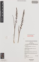 Isotype of Prasophyllum paulineae D.L.Jones & M.A.Clem. [family ORCHIDACEAE]