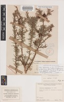 Isoneotype of Grevillea ninghanensis C.A.Gardner [family PROTEACEAE]
