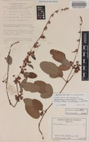 Isotype of Dendrolobium multiflorum Pedley [family FABACEAE]