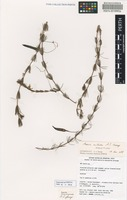 Holotype of Acacia mitodes A.S.George [family FABACEAE]