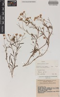 Isotype of Olearia gordonii Lander [family ASTERACEAE]
