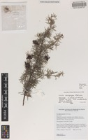Holotype of Grevillea acropogon Makinson [family PROTEACEAE]