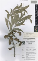 Isotype of Acacia celsa Tindale [family FABACEAE]