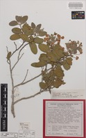 Holotype of Acacia startii A.R.Chapman & Maslin [family FABACEAE]