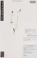 Holotype of Paracaleana terminalis Hopper & A.P.Br. [family ORCHIDACEAE]