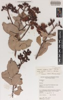 Isotype of Corymbia cadophora K.D.Hill & L.A.S.Johnson subsp. pliantha K.D.Hill & L.A.S.Johnson [family MYRTACEAE]