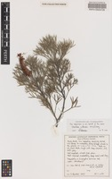 Isotype of Grevillea wittweri McGill. [family PROTEACEAE]