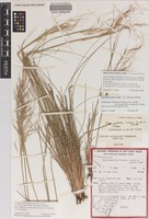 Isotype of Stipa wakoolica Vickery, S.W.L.Jacobs & J.Everett [family POACEAE]