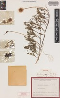 Holotype of Grevillea scapigera A.S.George [family PROTEACEAE]