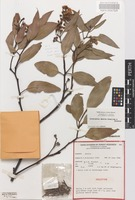 Holotype of Eucalyptus absita Grayling & Brooker [family MYRTACEAE]