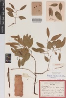 Holotype of Eucalyptus rupestris Brooker & Done [family MYRTACEAE]