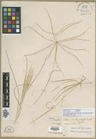 Syntype of Chloris verticillata Nutt. [family POACEAE]