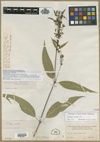 Isotype of Justicia secunda Vahl var. leucantha Leonard [family ACANTHACEAE]