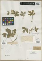 Filed as Jatropha sp. [family EUPHORBIACEAE]