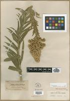 Filed as Solidago confinis A.Gray [family ASTERACEAE]