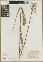 Isotype of Habenaria blephariglottis (Willd.) Hook. var. integrilabia Correll [family ORCHIDACEAE]