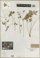 Filed as Aquilegia canadensis L. [family RANUNCULACEAE]
