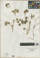 Filed as Medicago lupulina L. [family FABACEAE]