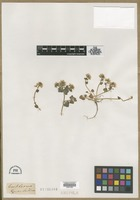 Filed as Cochlearia groenlandica L. [family BRASSICACEAE]
