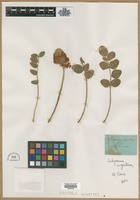 Filed as Hedysarum argenteum L. [family FABACEAE]