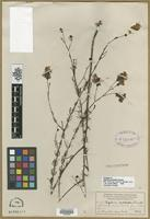 Holotype of Agalinis pulchella Pennell [family SCROPHULARIACEAE]