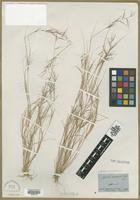 Type? of Aristida ramosissima Engelm. ex A.Gray [family POACEAE]