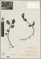 Isotype of Peperomia magna Trel. [family PIPERACEAE]