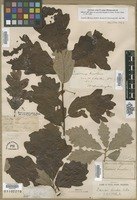 Quercus garryana in Global Plants on JSTOR