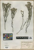 Isotype of Phylica pulchella Schltr. [family RHAMNACEAE]