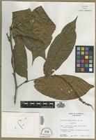 Isotype of Coccoloba itzana Lundell [family POLYGONACEAE]
