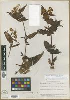 Holotype of Calceolaria semiconnata Pennell [family SCROPHULARIACEAE]