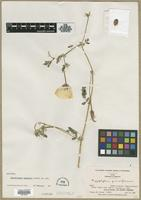 Holotype of Kallstroemia pennellii D.M.Porter [family ZYGOPHYLLACEAE]