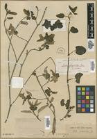 Isotype of Sida physocalyx A.Gray [family MALVACEAE]