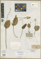 Lectotype of Malaxis ophioglossoides Muhl. ex Willd. [family ORCHIDACEAE]