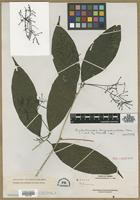 Isotype of Beilschmiedia longipedicellata Merr. [family LAURACEAE]