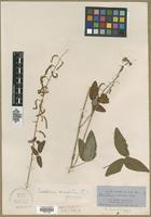 Type? of Desmodium sonorae A.Gray [family FABACEAE]