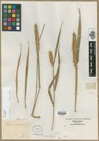 Filed as Elymus virginicus L. [family POACEAE]