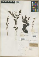 Filed as Thesium sp. [family SANTALACEAE]