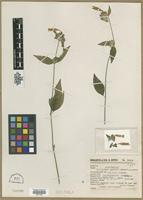Type of Dicliptera pendula Leonard [family ACANTHACEAE]