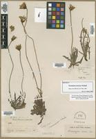 Isotype of Troximon roseum Nutt. [family ASTERACEAE]