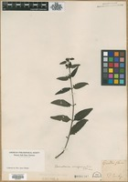 Filed as Gerardia flava L. [family SCROPHULARIACEAE]